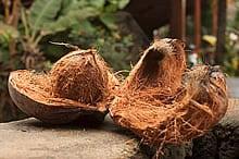 coconuts_seni