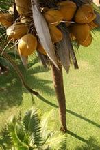 tree_coconuts